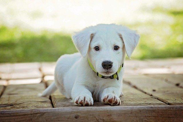 Co warto wiedzieć przed zakupem psa?