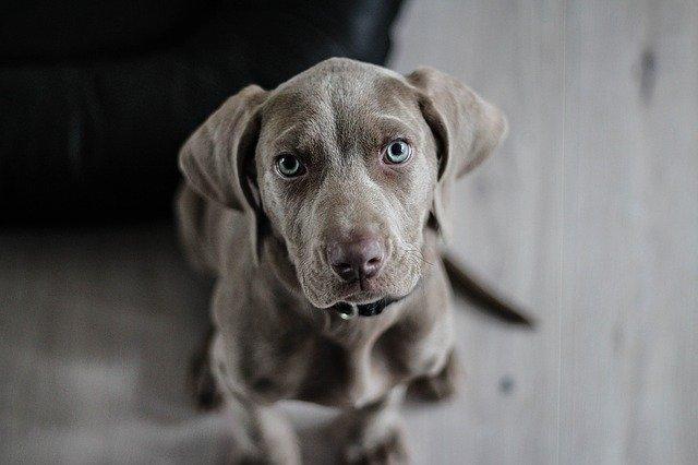 Kochane małe i duże psy: lata życia, rasa, zmysły